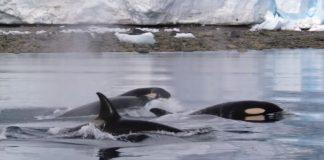 Þetta er ástæðan fyrir því að HÁHYRNINGAR eru kallaðir killer whales - Ekki fyrir viðkvæma! - MYNDBAND