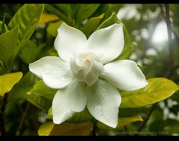 Oddly Perfect Gardenia