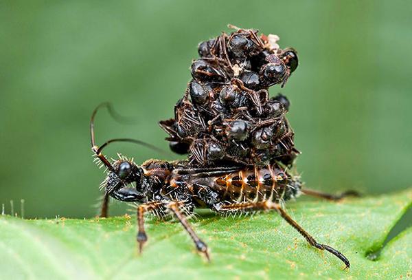 assassin bugs scariest creatures