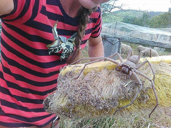 australia friendly huntsman spider
