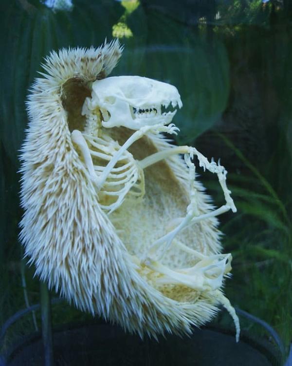 hedgehog skeleton scariest creatures