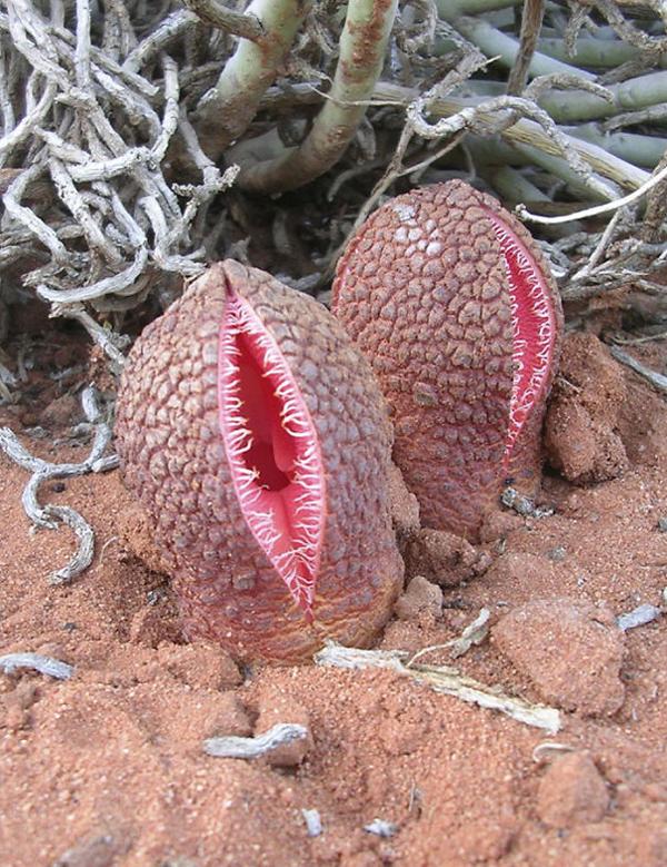 hydrona africana cariest creatures