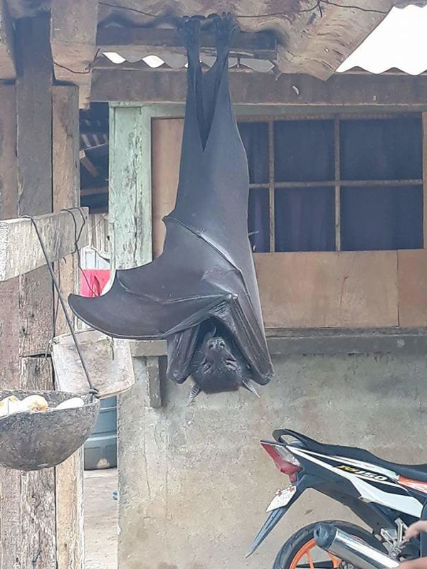 large flying fox philippines