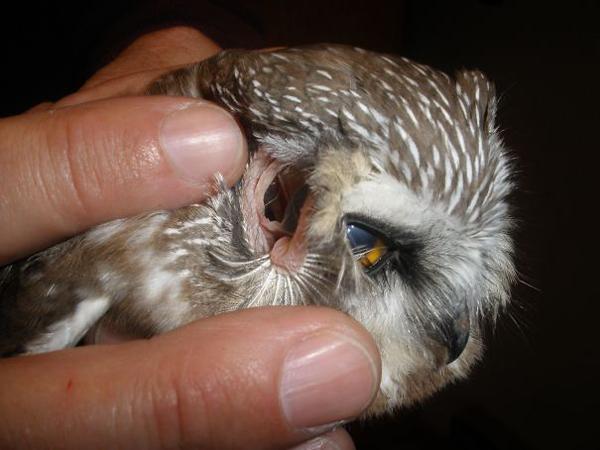 owl eyes through its ears