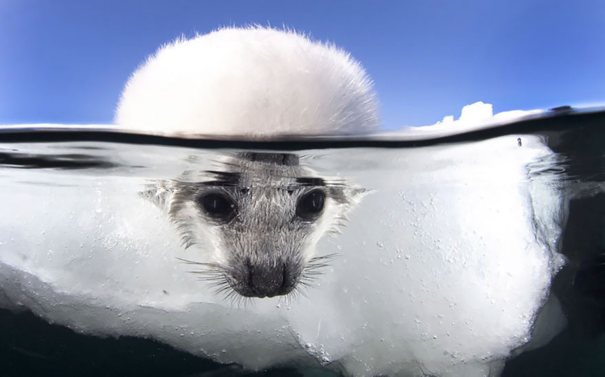 A Baby Seal Cautiously Dips Its Head In Freezing Cold Water